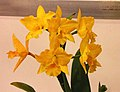 Rhyncattleanthe Hsinying Topaz -台南國際蘭展 Taiwan International Orchid Show- (25949854227).jpg