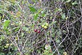 Ribes uva-crispa L. (AM AK348302-2).jpg