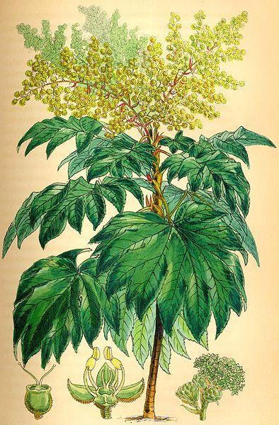 image des fleurs du tetrapanax papyrifère