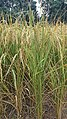 Rice fields in Pakistan.jpg