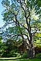 Robinia pseudoacacia 03.jpg