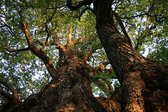 Nothofagus - The roble beech (Nothofagus obliqua) from South America