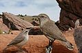 Rock wren From The Crossley ID Guide Eastern Birds.jpg