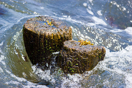 Rockport Mass. Algae Wood 2012.jpg