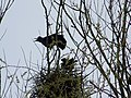 Rooks in the Rookery, Bishopstone - geograph.org.uk - 735050.jpg