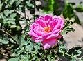 Rosa × centifolia 30072013.jpg