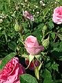 Rosa Gertrude Jekyll 2019-06-04 6178.jpg