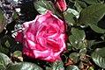 Rosa Paradise 1zz.jpg