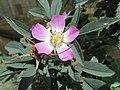 Rosa glauca inflorescence (44).jpg