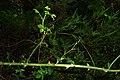 Rosa rubiginosa stem (02).jpg