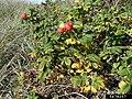 Rosa rugosa fruit (55).jpg