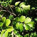 Rosa rugosa leaf (04).jpg