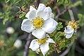 Rosa spinosissima inflorescence (16).jpg