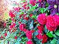 Rose,Tess of the d'Urbervilles,バラ,テス オブ ザ ダーバーヴィルズ, (15220777625).jpg