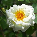 Rose, Anna Zinkeisen, バラ, アンナ ツィンカイゼン, (17238900528).jpg