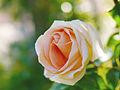 Rose, Out of Canada, バラ, アウト オブ カナダ, (14960710810).jpg