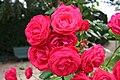 Rose Danse des Sylphes 20070601.jpg