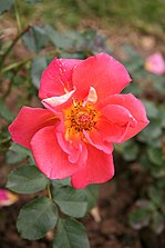 Sol Rose Orange Comment Decorer