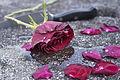 Rose by manuel gegenhuber.jpg