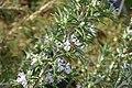 Rosmarinus officinalis Hill Hardy 0zz.jpg