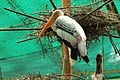 Rosy stork.jpg