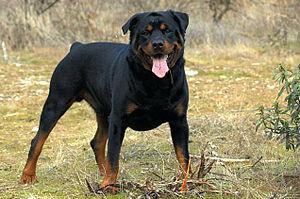Rottweiler Texas Dog Bite Injury Law Part 5