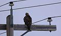 Rough-legged Hawk (11911389203).jpg