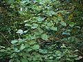 Rubus ellipticus Sm. (6363978921).jpg