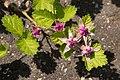 Rubus parvifolius 06.jpg