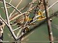 Rufous-breasted Accentor (Prunella strophiata) (24769706327).jpg