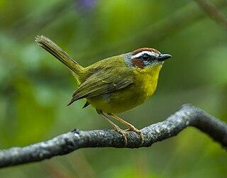 Rufous-capped warbler species of bird