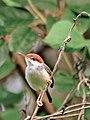Rufous-tailed tailorbird.jpg