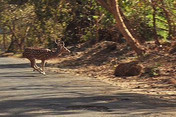Running Spotted Deer.jpg