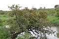 Russet Bushwillow (Combretum hereroense) (16074971893).jpg