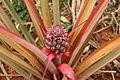 SB074 Pineapples Cuba.JPG