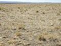 Sagebrush steppe converted to crested wheatgrass (9675841864).jpg