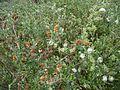 Salix dunensis (2).jpg