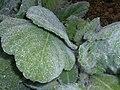Salvia argentea 2016-05-17 0516.jpg