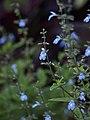 Salvia caymanensis (Scott Zona) 001.jpg