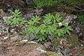 Sambucus racemosa 9281.JPG