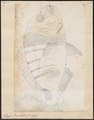 Sargus rondeletii - 1700-1880 - Print - Iconographia Zoologica - Special Collections University of Amsterdam - UBA01 IZ13100031.tif