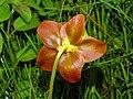 Sarraceniaceae - Sarracenia purpurea (8303625575).jpg