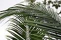 Satakentia liukiuensis 11zz.jpg
