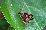 Savanna pathfinder skipper (Pardaleodes incerta incerta).jpg