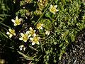 Saxifraga bryoides (plant).jpg