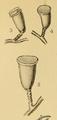 Scandia mutabilis.png