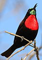 Scarlet-chested sunbird, Chalcomitra senegalensis, at Lake Chivero, Harare, Zimbabwe - male (21878461601).jpg