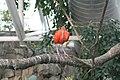 Scarlet Ibis (Eudocimus ruber) (2864613820).jpg