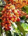 Schefflera arboricola Colorful berries (tanakawho).jpg