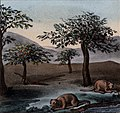Schmidtmeyer- Scharf, George Johann - Riverbank with trees & nutria or coypu -JCB Library f1.1.jpg